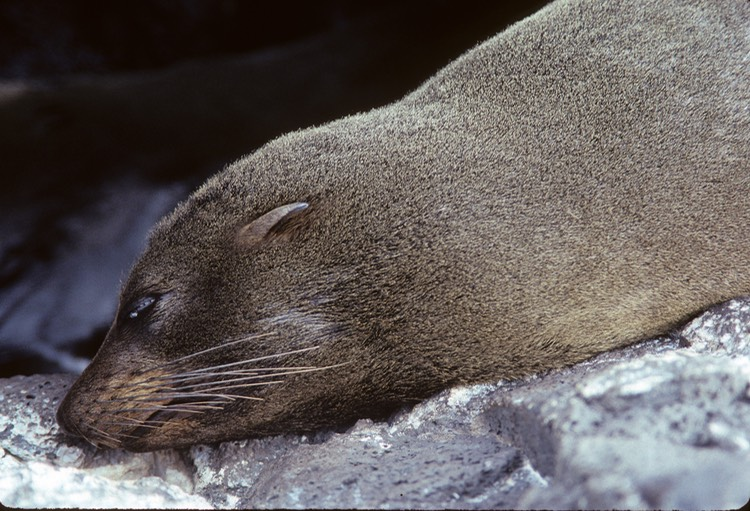 Fur seal (sea lion)- Galapagos 1991
