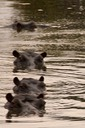 "Hippo crossing the ""T"""