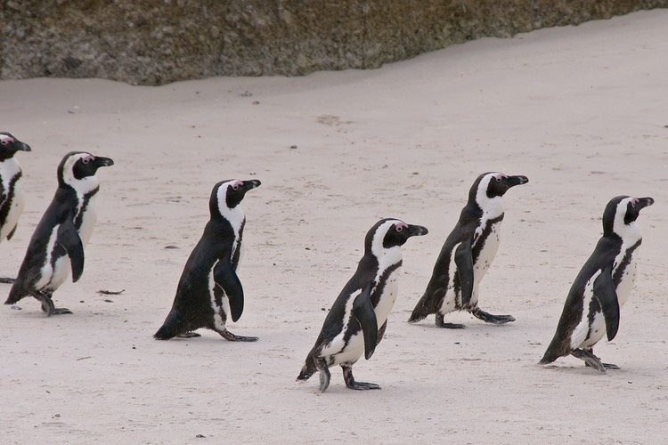 Jackass penguins on the march