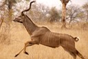 Kudu on the move