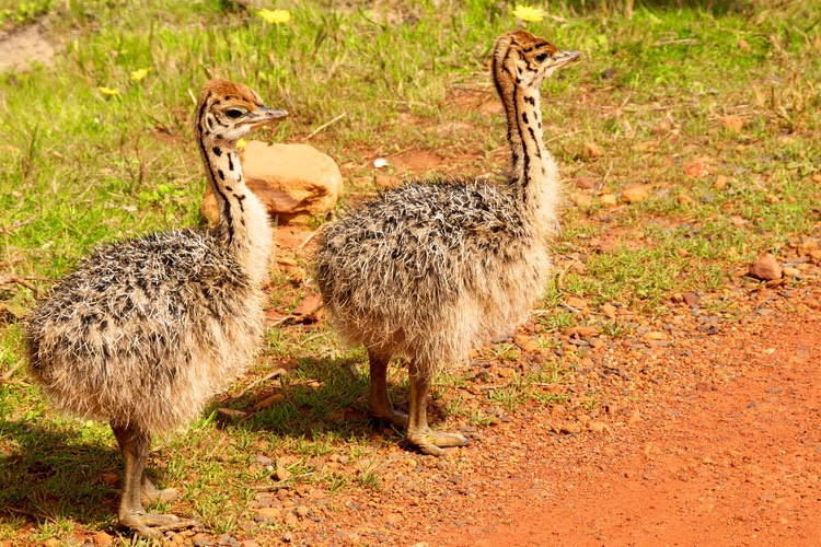 Ostrich offspring