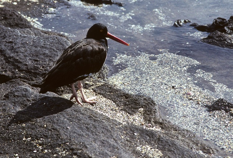 Oyster catcher- Galapagos 1991