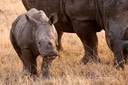 Young white [wide] rhino